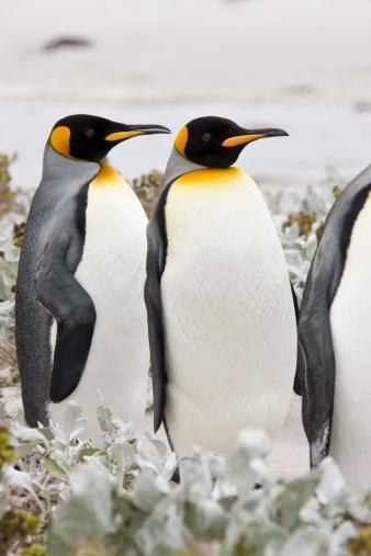 Falkland Islands「King penguins」:スマホ壁紙(14)