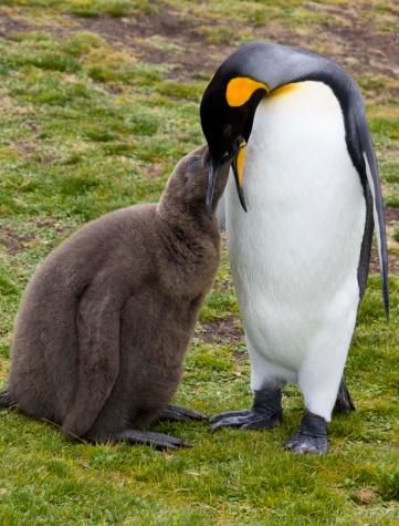 Falkland Islands「King penguin feeding chick」:スマホ壁紙(10)