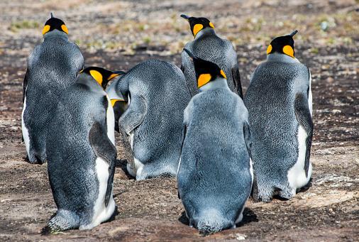 Falkland Islands「King penguins (Aptenodytes patagonicus) on Saunders Island」:スマホ壁紙(17)