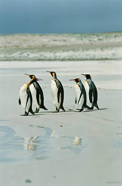 King penguins (Aptenodytes patagonicus) walking on beach:スマホ壁紙(壁紙.com)
