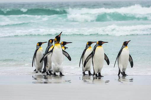 Falkland Islands「King penguins (Aptenodytes patagonicus) on a wet beach」:スマホ壁紙(13)