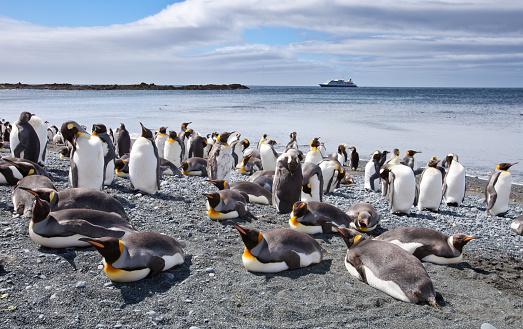 Sub-Antarctic Islands「King penguin colony on Macquarie Island in Australia」:スマホ壁紙(16)
