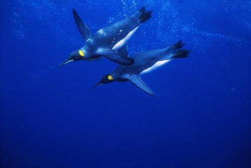 Sub-Antarctic Islands「King penguins (Aptenodytes patagonicus) (Digital Enhancement)」:スマホ壁紙(2)