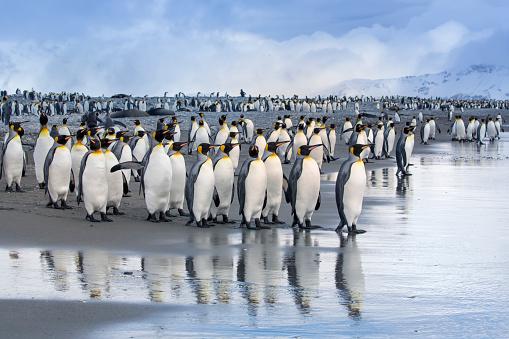 Southern Atlantic Islands「King Penguin Reflections at Salisbury Plain on South Georgia」:スマホ壁紙(18)
