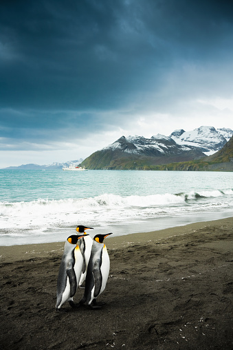 Falkland Islands「King Penguin Family South Georgia」:スマホ壁紙(13)