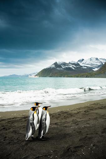 Falkland Islands「King Penguin Family South Georgia」:スマホ壁紙(19)