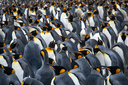 Emperor Penguin「King penguin (Aptenodytes patagonicus)」:スマホ壁紙(9)