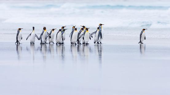Falkland Islands「King Penguin (Aptenodytes patagonicus)」:スマホ壁紙(7)