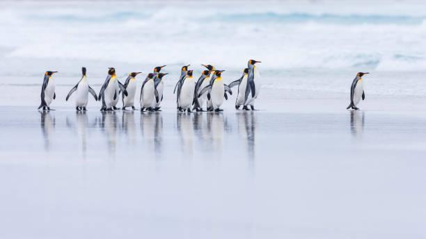 King Penguin (Aptenodytes patagonicus):スマホ壁紙(壁紙.com)