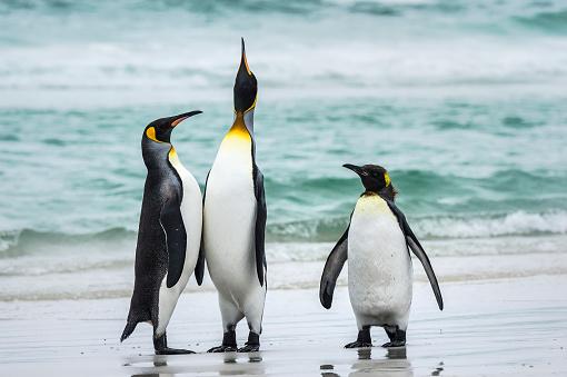 Falkland Islands「King penguins (Aptenodytes patagonicus) with a Gentoo penguin (Pygoscelis papua), Volunteer Point」:スマホ壁紙(6)