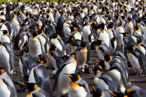 フォークランド諸島「キングペンギンコロニー、フォークランド諸島」:スマホ壁紙(4)