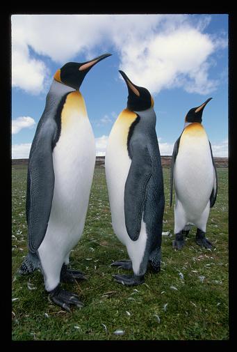 Falkland Islands「King Penguins」:スマホ壁紙(5)