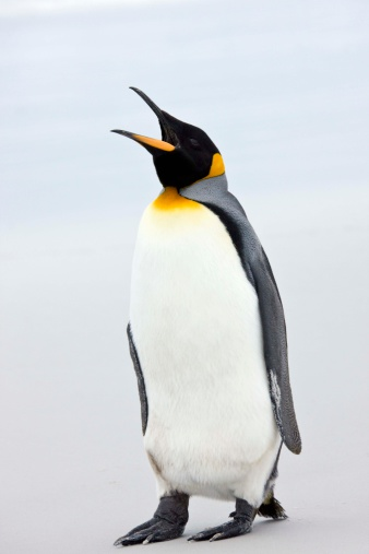 Falkland Islands「King penguin」:スマホ壁紙(1)