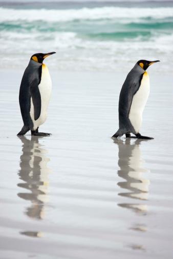 Falkland Islands「King penguins standing on beach」:スマホ壁紙(12)