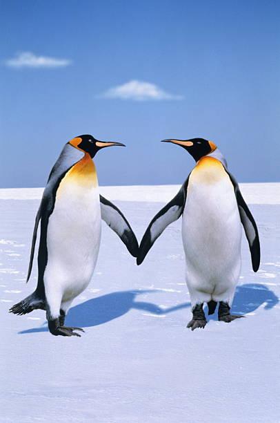 King penguins (Aptenodytes patagonicus) (Digital Composite):スマホ壁紙(壁紙.com)