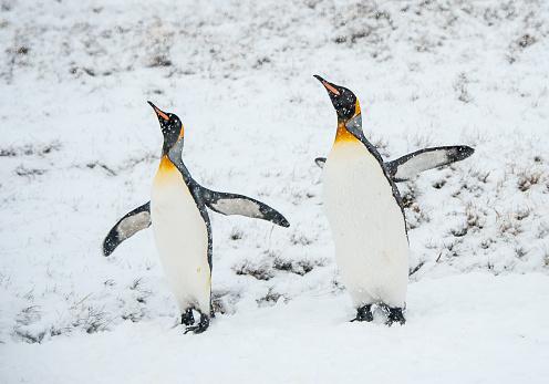 雪が降る「キングペンギンの雪の南ジョージア」:スマホ壁紙(0)