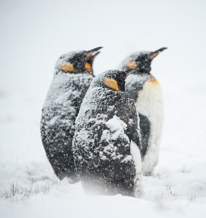 Animals In The Wild「King penguins in the snow in South Georgia」:スマホ壁紙(10)