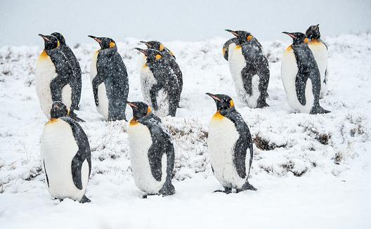 吹雪「キングペンギンの雪の南ジョージア」:スマホ壁紙(7)