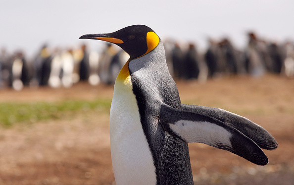 Animal Wildlife「The Falkland Islands - 25 Years After The War」:写真・画像(0)[壁紙.com]
