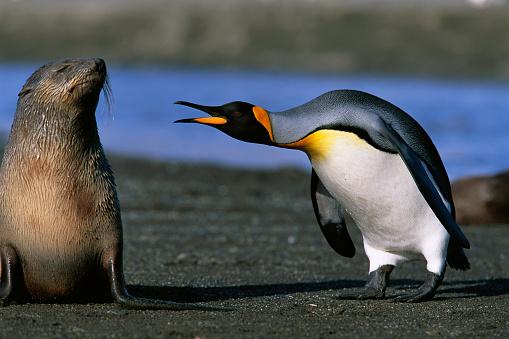 Southern Atlantic Islands「King Penguin Confronting Unconcerned Fur Seal」:スマホ壁紙(13)