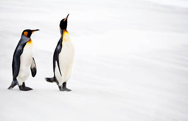 King Penguins, Falkland Islands:スマホ壁紙(壁紙.com)