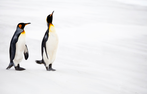 Falkland Islands「King Penguins, Falkland Islands」:スマホ壁紙(13)