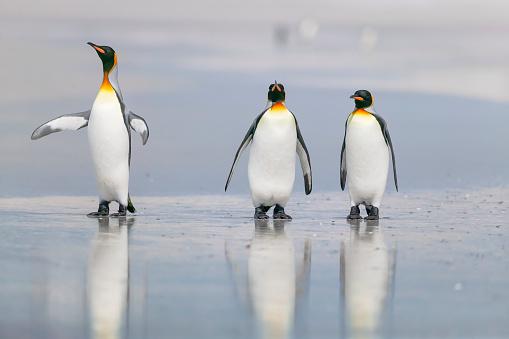 Falkland Islands「King Penguin (Aptenodytes patagonicus)」:スマホ壁紙(5)