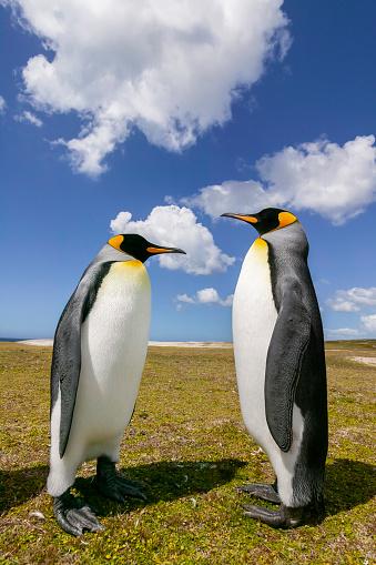 Falkland Islands「King Penguin (Aptenodytes patagonicus)」:スマホ壁紙(0)