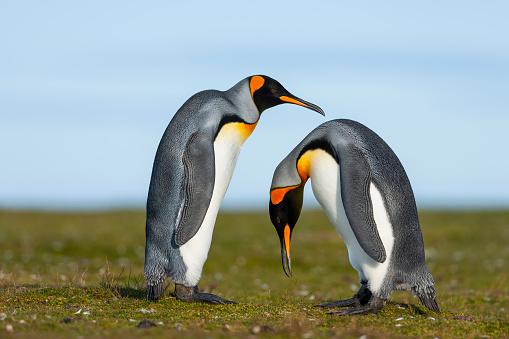 Falkland Islands「King Penguin (Aptenodytes patagonicus)」:スマホ壁紙(10)