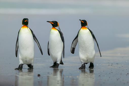 Falkland Islands「King Penguin (Aptenodytes patagonicus)」:スマホ壁紙(4)