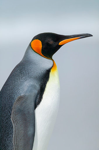 Falkland Islands「King Penguin (Aptenodytes patagonicus)」:スマホ壁紙(3)