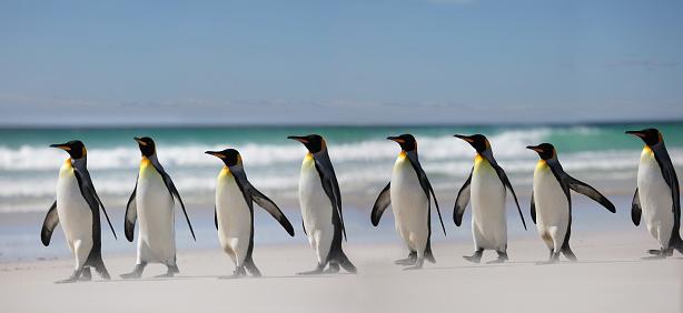 Falkland Islands「King penguins on beach」:スマホ壁紙(13)