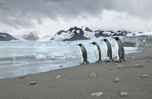 Southern Atlantic Islands「King penguin (Aptenodytes patagonicus) returning to sea at Royal Bay with the Weddell glacier in the background, Royal Bay, South Georgia」:スマホ壁紙(12)