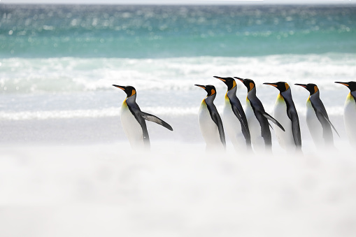 Falkland Islands「King penguins running into sea」:スマホ壁紙(2)