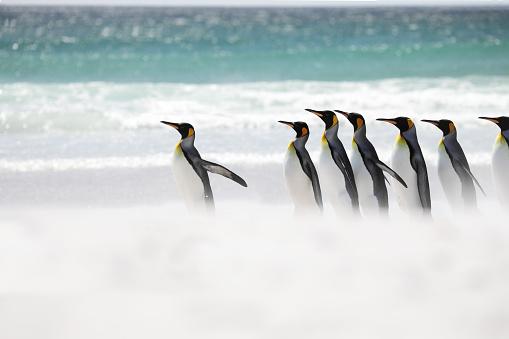 Falkland Islands「King penguins running into sea」:スマホ壁紙(10)