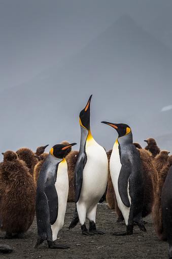 Atlantic Islands「King penguins (Aptenodytes patagonicus) in rookery」:スマホ壁紙(6)