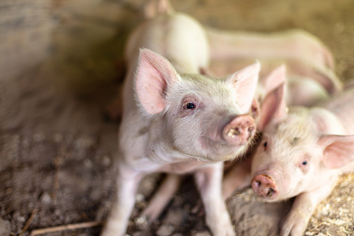 Snorting「Farm Life with Piglets in a pen in Western USA」:スマホ壁紙(15)