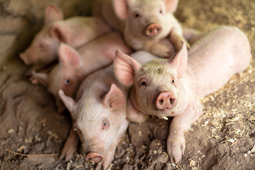 Snorting「Farm Life with Piglets in a pen in Western USA」:スマホ壁紙(19)
