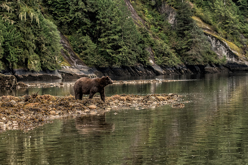 Brown Bear「Grizzly on a beach in the Great Bear Rainforest」:スマホ壁紙(14)