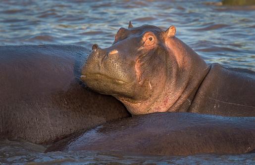 カバ「Hippo in Retima Hippo Pool, mother and young」:スマホ壁紙(11)