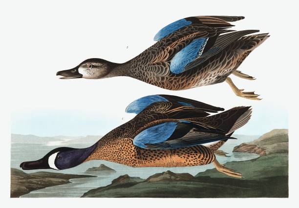 Blue  Winged Teal:ニュース(壁紙.com)