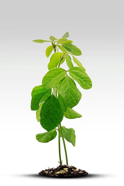 Soybean Sprout:スマホ壁紙(壁紙.com)