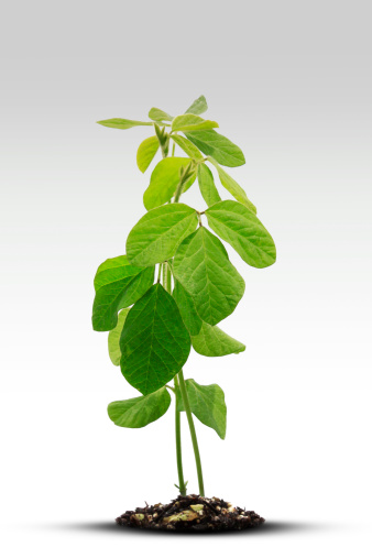 Planting「Soybean Sprout」:スマホ壁紙(15)