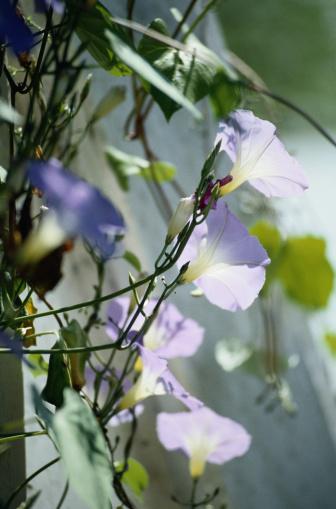 朝顔「Flower」:スマホ壁紙(1)