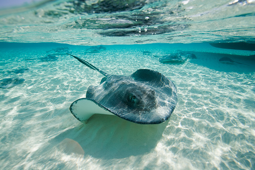 Cayman Islands「Southern Stingrays Swimming at Stingray City」:スマホ壁紙(17)