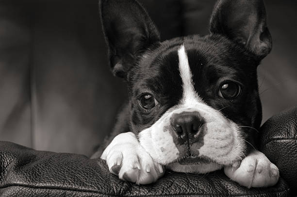 Black & White Close-up of Boston Terrier Lying on Couch:スマホ壁紙(壁紙.com)