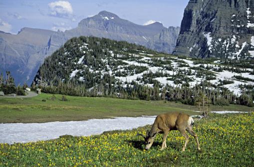 ベロア「Grazing male Mule Deer, Docoileus hemionus, in velvet among Glacier Lilies, Visitor Center, Logan Pass, Glacier National Park, Montana, USA」:スマホ壁紙(8)