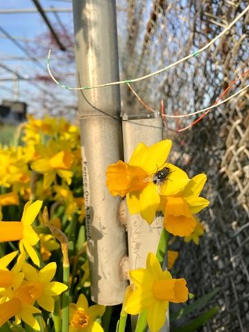 水仙「Fly on Daffodil」:スマホ壁紙(13)