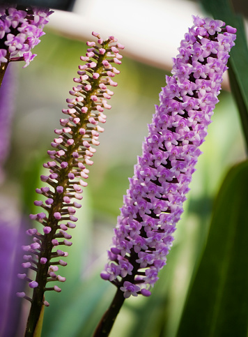 花「Arpophyllum giganteum」:スマホ壁紙(12)