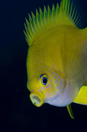ソロモン諸島「'Yawning' Lemon Damselfish」:スマホ壁紙(16)